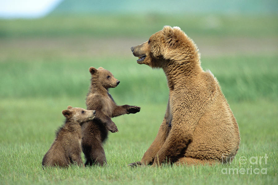 Photo Photograph - Grizzly Cubs With Mother by Yva Momatiuk and John Eastcott