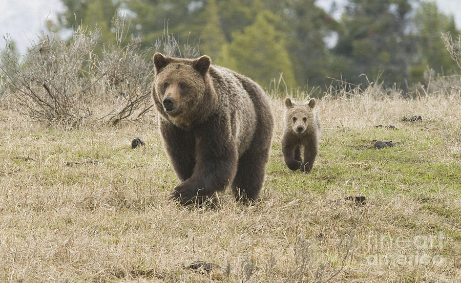 Nature Photograph - Grizzly Family At Fishing Bridge by Bob Dowling