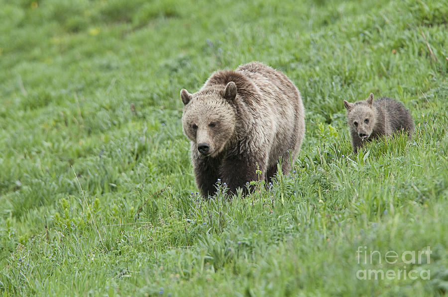Bears Photograph - Grizzly Family On Dunraven by Bob Dowling