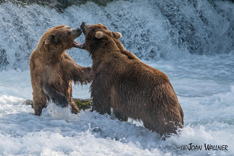 Alaska Photograph - Grizzly fight by Joan Wallner