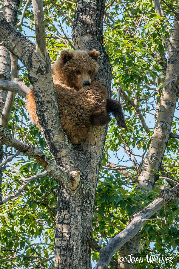 Alaska Photograph - Grizzly Hanging Out by Joan Wallner