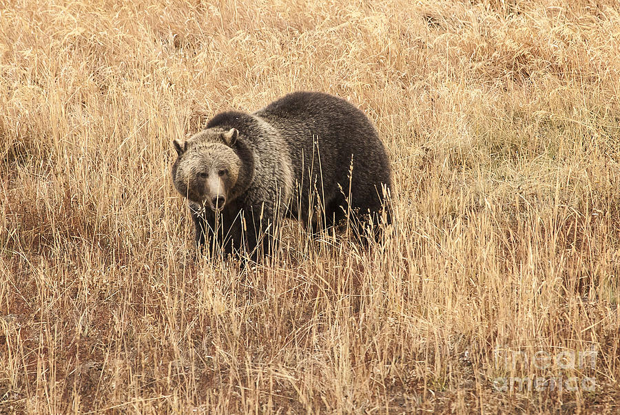 Nature Photograph - Grizzly In Autumn Meadow by Bob Dowling