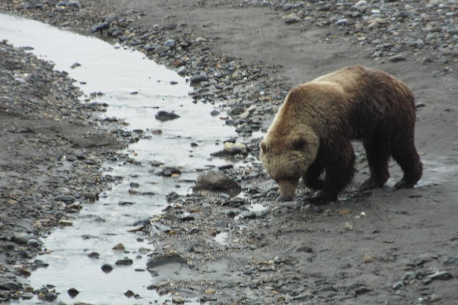 Grizzly Photograph - Grizzly in Denali by Barbara Von Pagel