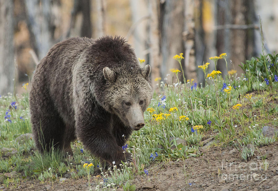 Nature Photograph - Grizzly In Spring Flowers by Bob Dowling