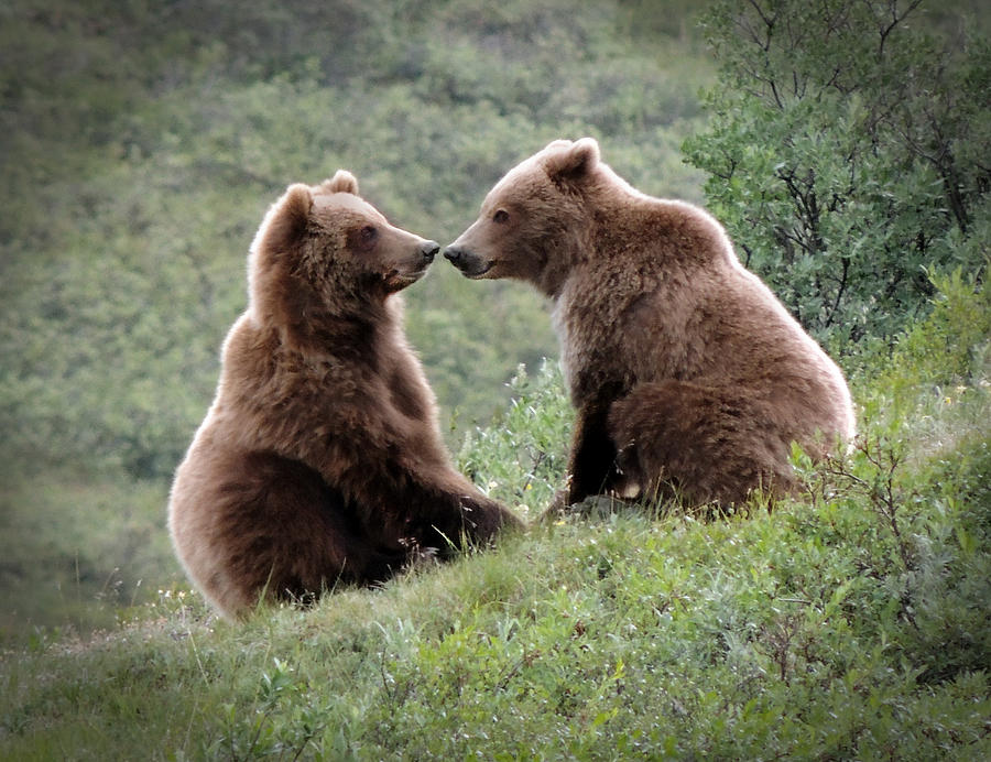 Grizzly Photograph - Grizzly Mating Pair by Jeff Pfaller