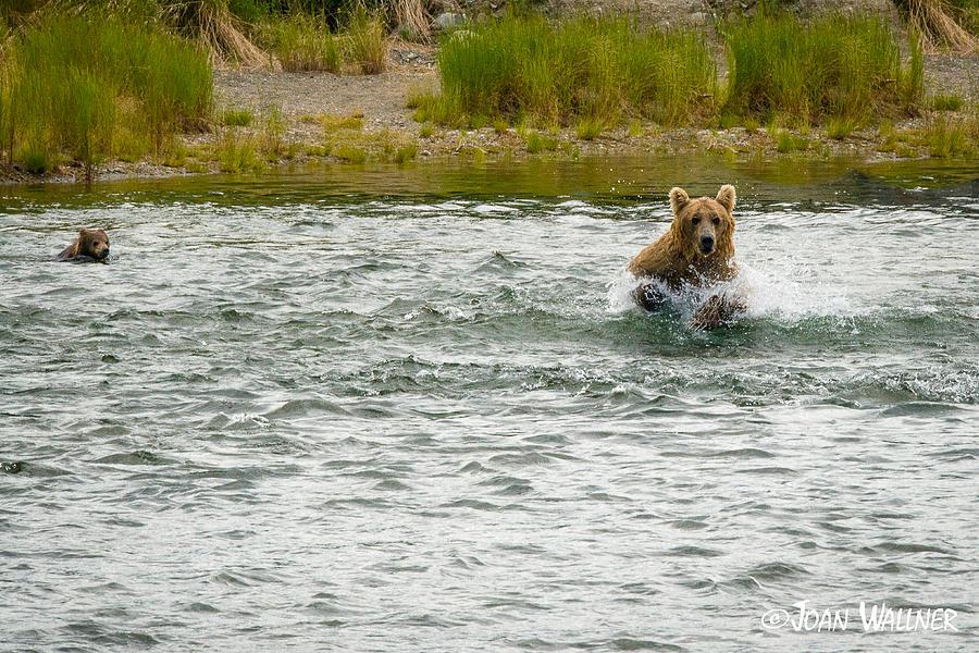 Alaska Photograph - Grizzly mom Fishing for Salmon by Joan Wallner