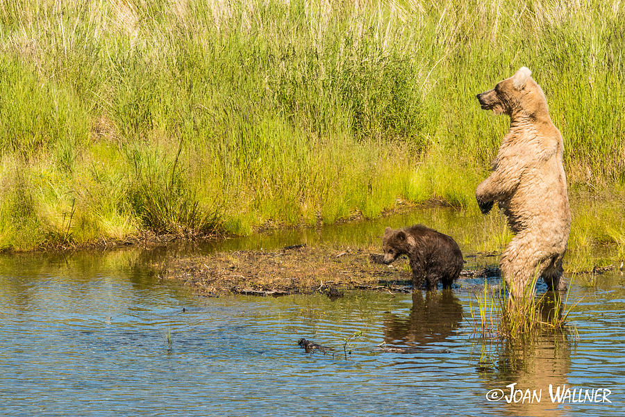 Alaska Photograph - Grizzly mom looking for danger by Joan Wallner