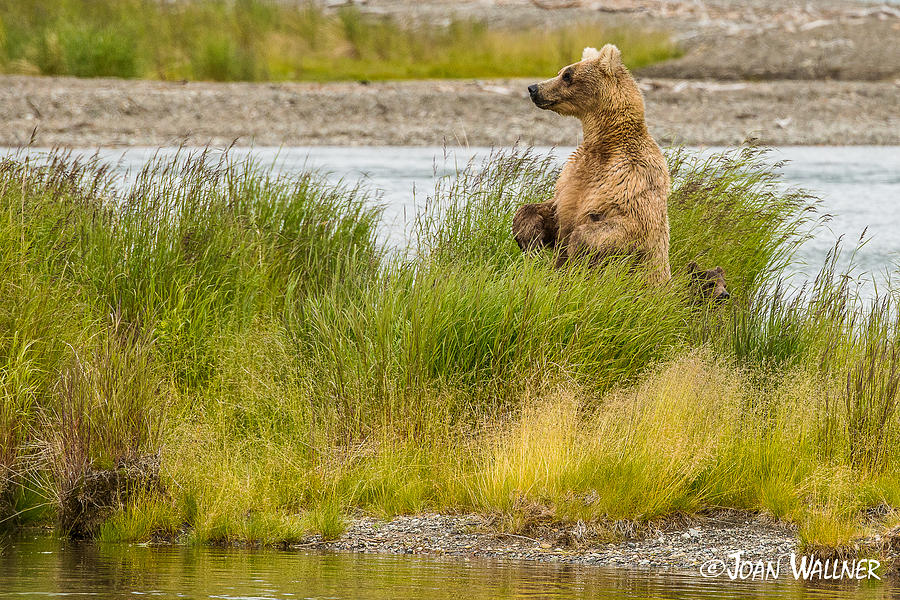 Alaska Photograph - Grizzly mom stands up for a look by Joan Wallner