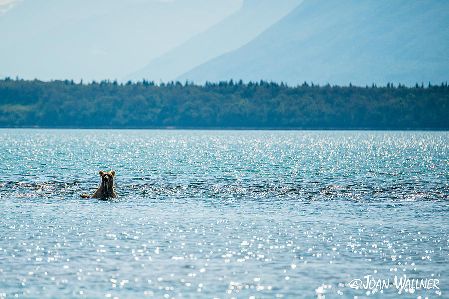 Alaska Photograph - Grizzly Mom with Spring Cub Fishing the Lake by Joan Wallner