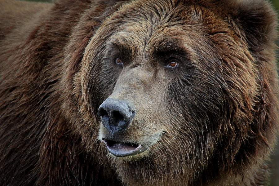 Grizzly Photograph - Grizzly Mugshot by Athena Mckinzie