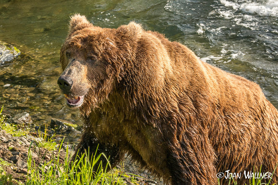 Alaska Photograph - Grizzly on the river bank by Joan Wallner
