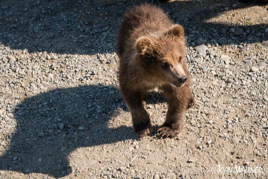 Alaska Photograph - Grizzly Spring Cub by Joan Wallner
