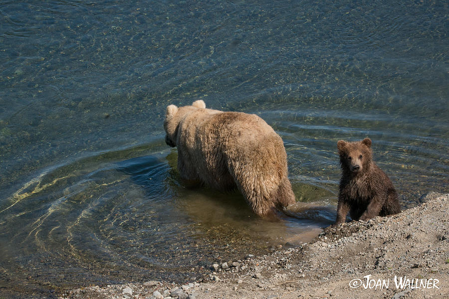 Alaska Photograph - Grizzly Spring Cub with Its Mom by Joan Wallner
