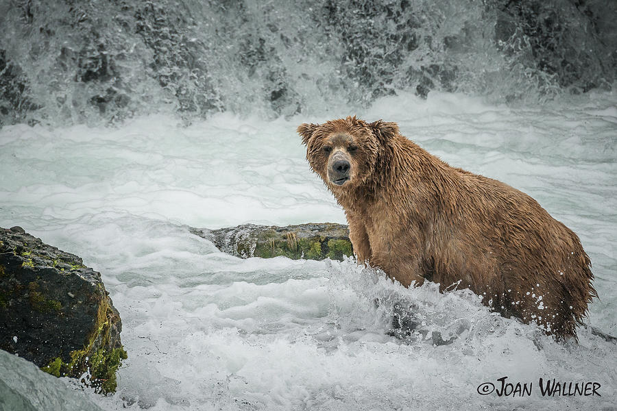Alaska Photograph - Grizzly Stare by Joan Wallner