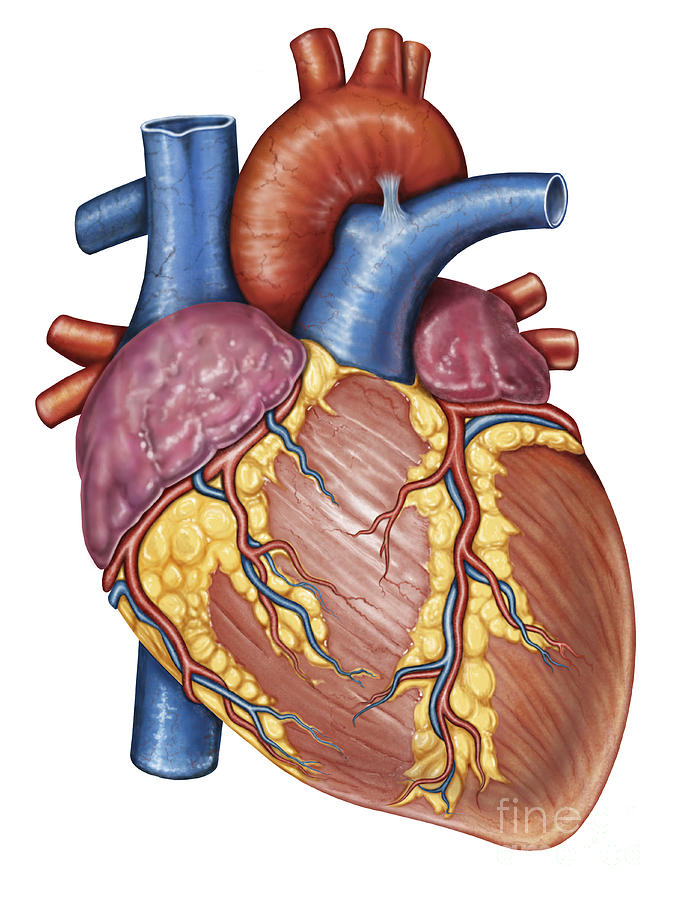 Gross Anatomy Of The Human Heart Digital Art by Stocktrek Images