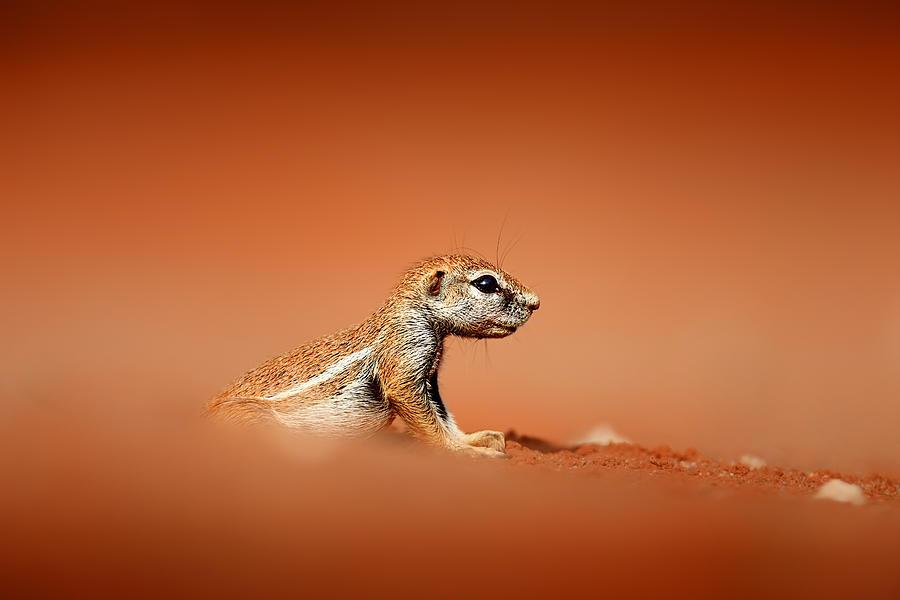 Ground Squirrel On Red Desert Sand Photograph