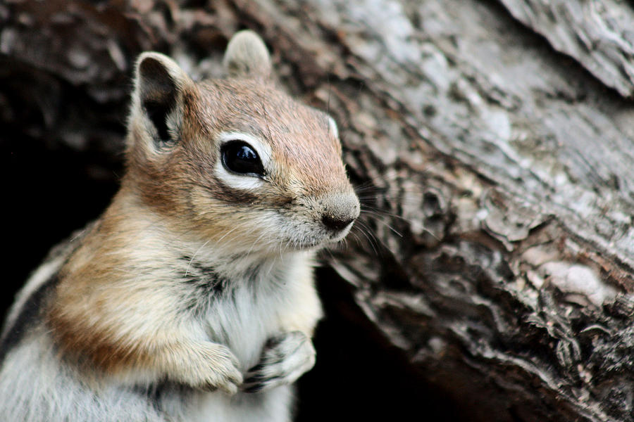 Ground Squirrel Out Of Hibernation by Lori Peters