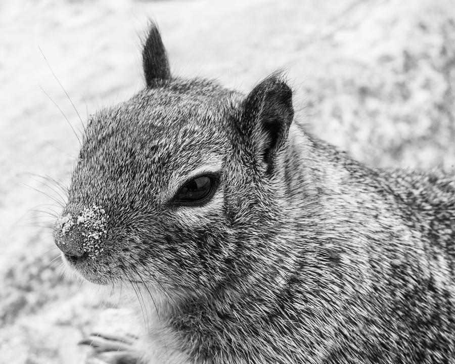 California Ground Squirrel Photograph - Ground Squirrel With Sandy Nose by Priya Ghose