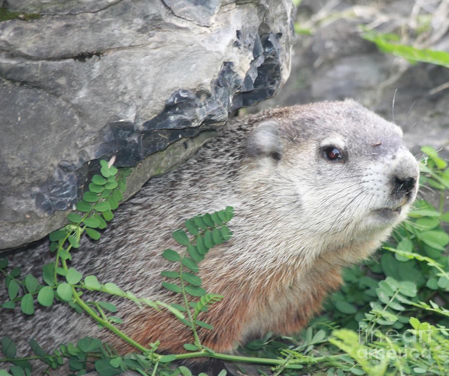 Telfer Photograph - Groundhog Hiding by John Telfer