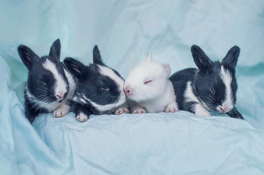 Group Of Four Newborn Baby Bunnies Photograph by Ashraful Arefin Photography
