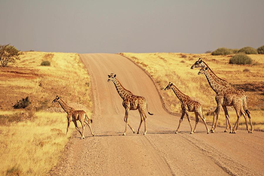 Group Of Giraffes Walking On The Gravel Photograph by Jurgar