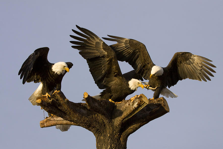 Group Of Perched Bald Eagles Fighting Photograph By Doug