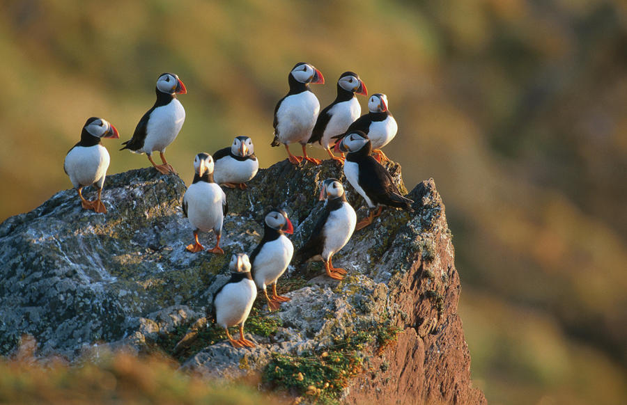 Group Of Puffins Fratercula Arctica Photograph by Andrew Parkinson