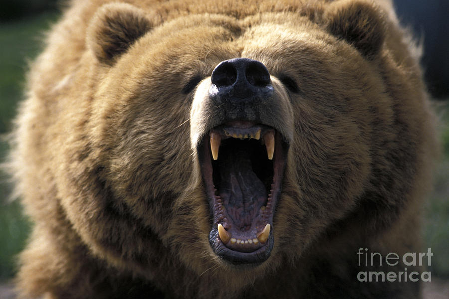 Growling Grizzly Bear Photograph By Mark Newman