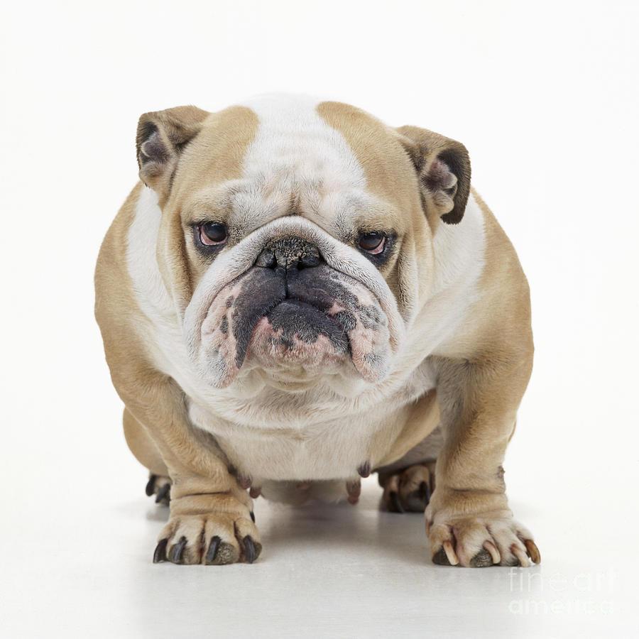 Grumpy Bulldog Photograph By John Daniels