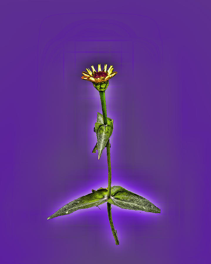 Grunge Photograph - Grunge Flower - Zinnia by Larry Bishop