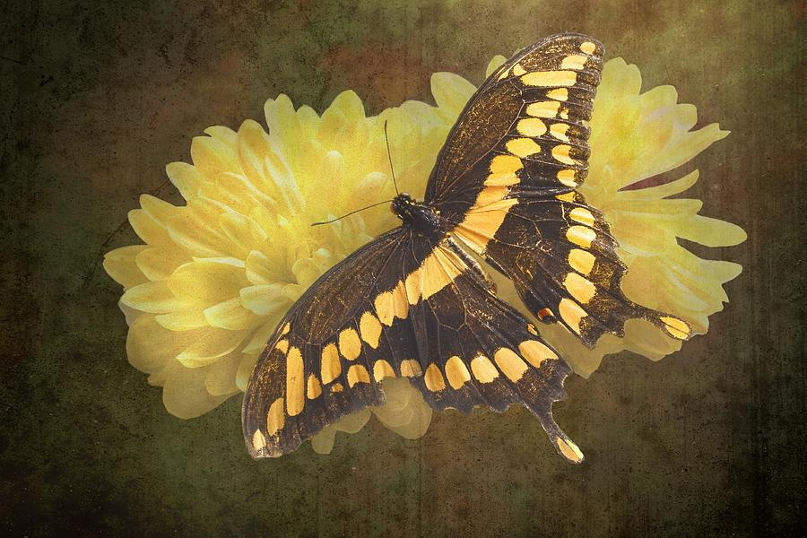 Giant  - Grunge Giant Swallowtail-1 by Rudy Umans