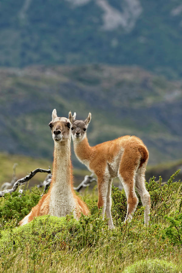 Adam Jones Photograph - Guanaco And Baby, Andes Mountain by Adam Jones