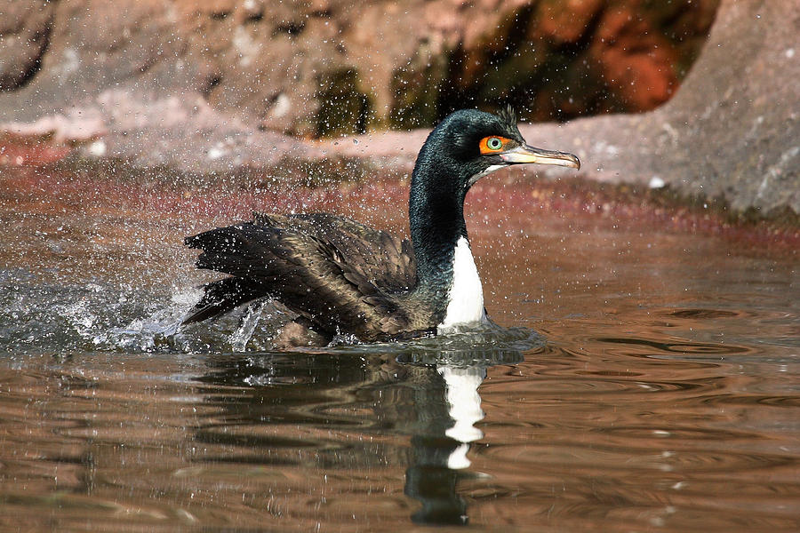 Cormorant Photograph - Guanay Cormorant by Karol Livote