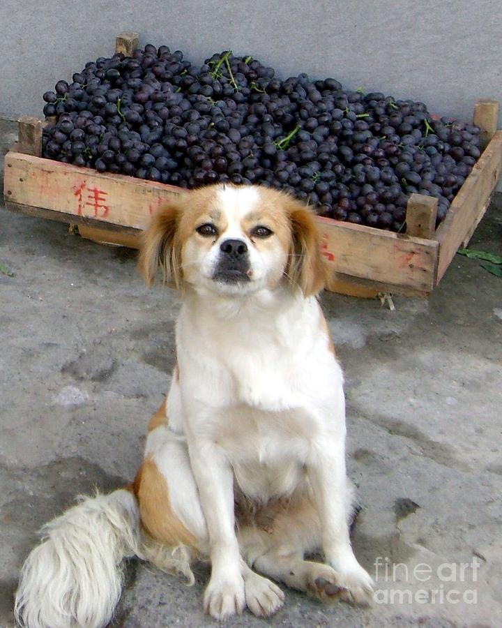 Dog  - Guardian Of The Grapes by Barbie Corbett-Newmin
