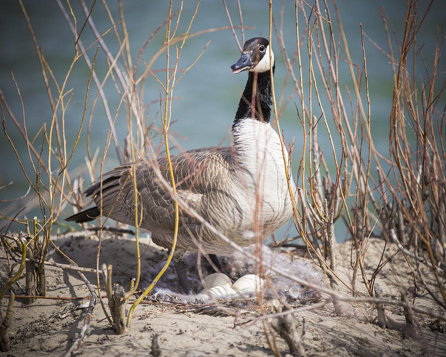 Goose Photograph - Guarding The Nest by Gerald Murray Photography