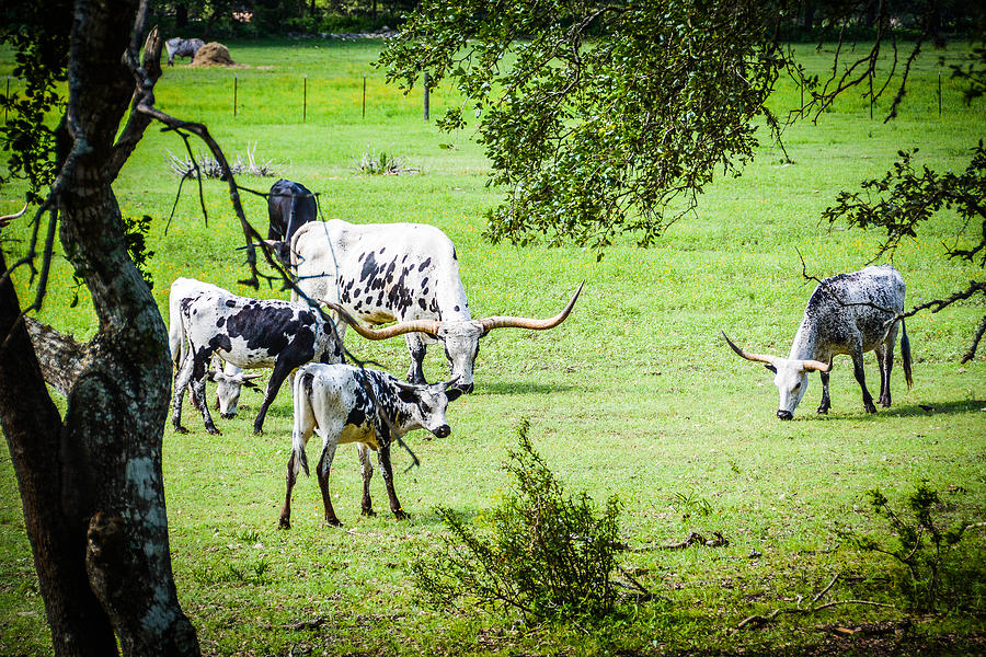 Longhorn Photograph - Guess I Have Some Growin To Do by Wally Taylor