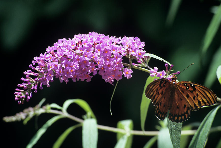 Agraulis Vanillae Photograph - Gulf Fritillary Butterfly by Sally Mccrae Kuyper/science Photo Library