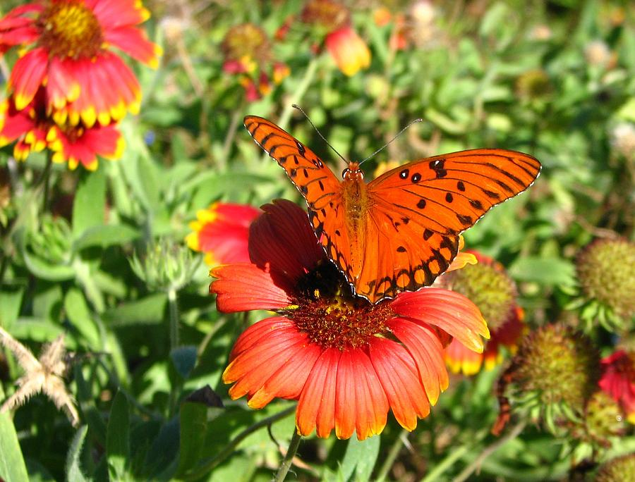 Indian Photograph - Gulf Fritillary by Peggy Burley