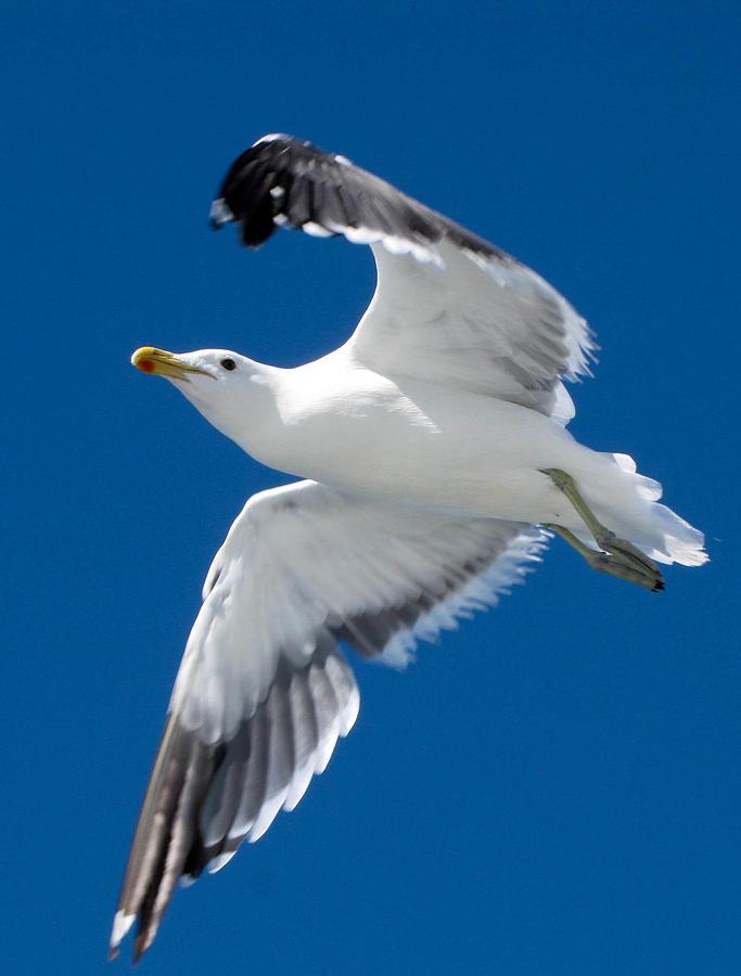 Gull Photograph - Gull In Flight by Karen E Phillips