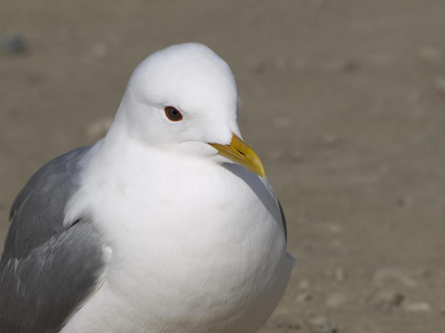 Sea Gull Photograph - Gull by Tara Lynn