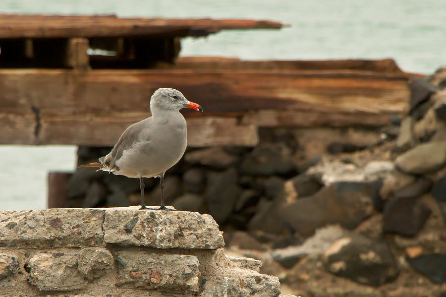 Seagull Photograph - Gull Wall by Robert Bascelli