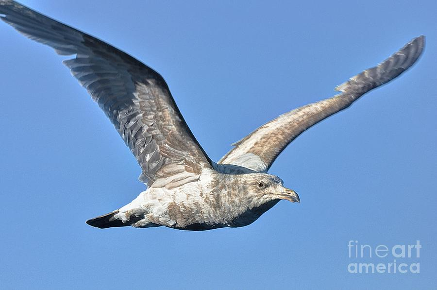Sea Gulls Photograph - Gull Wings by Phillip Garcia