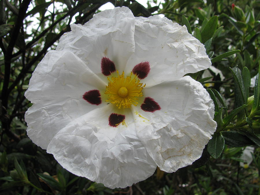 Rock Rose Photograph - Gum Rockrose by Alfred Ng