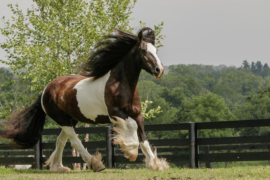 Adam Jones Photograph - Gypsy Vanner Horse Running, Crestwood by Adam Jones