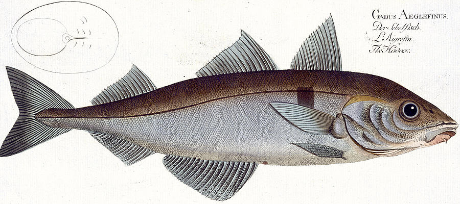 Fish Painting - Haddock by Andreas Ludwig Kruger
