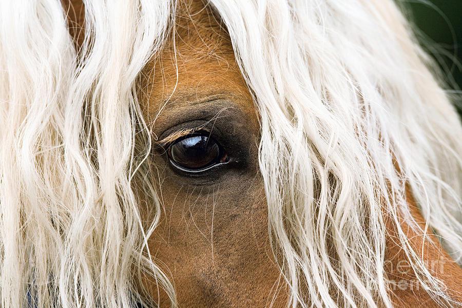 haflinger horse eye photograph by gabriele boiselle. Black Bedroom Furniture Sets. Home Design Ideas