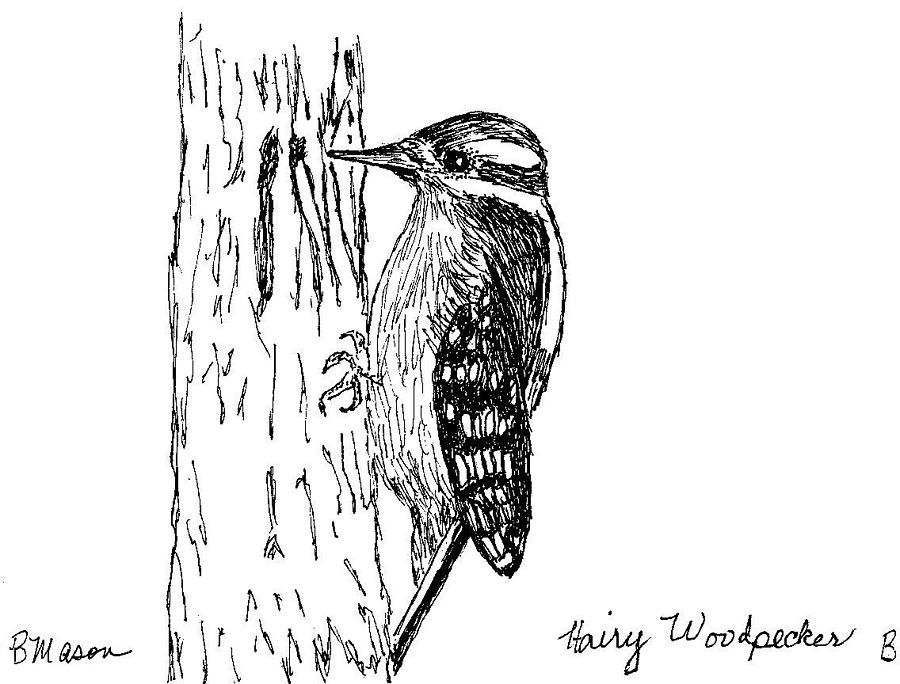 hairy woodpecker drawing by becky mason