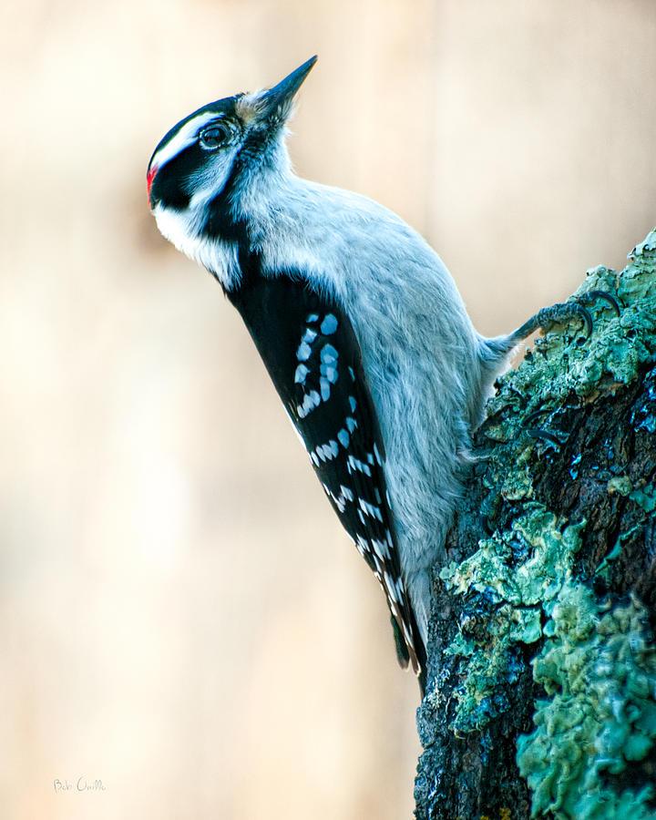 Hairy Woodpecker Photograph - Hairy Woodpecker by Bob Orsillo