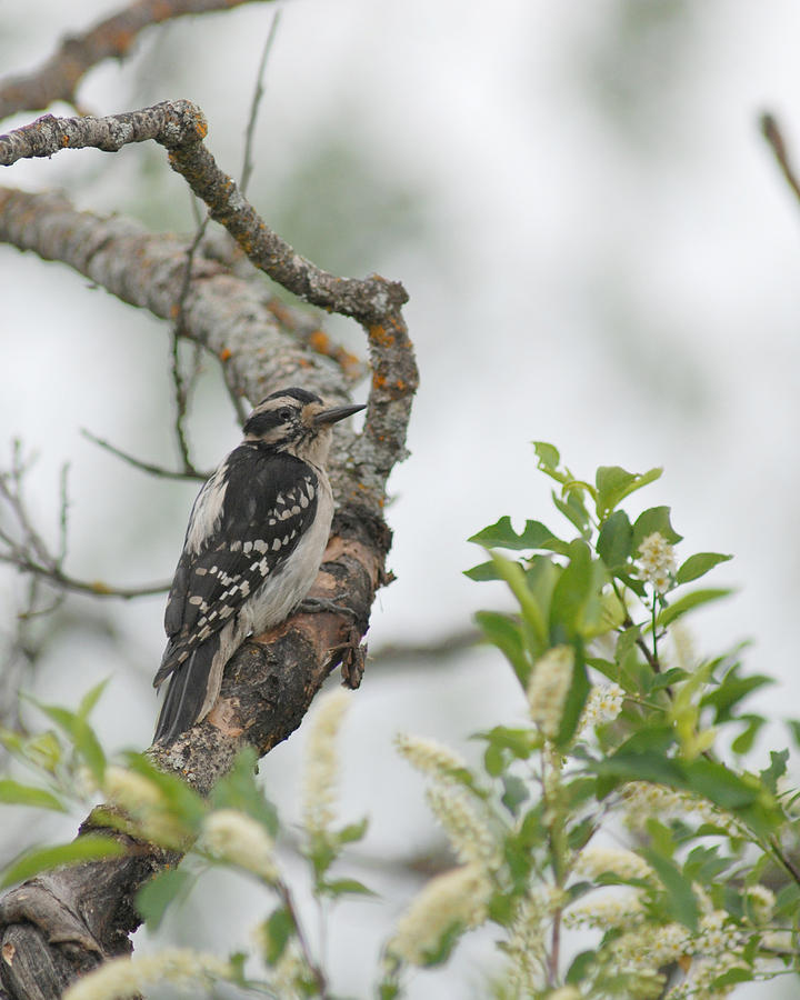 Hairy Woodpecker by Jan Piet