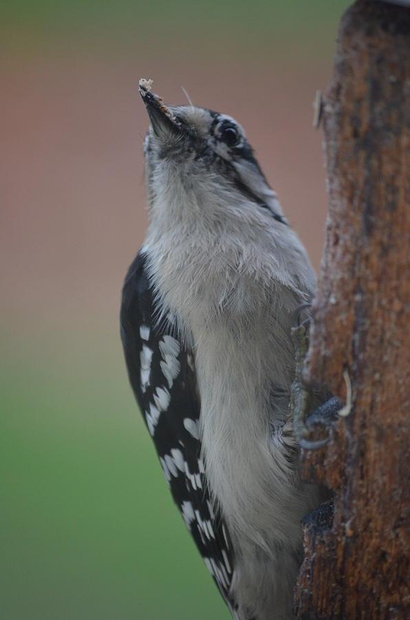 Nature Photograph - Hairy Woodpecker2 by Jennifer  King